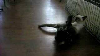 Duck vs Cat Playing