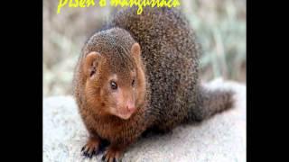 Video Píseň o mangustách