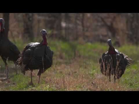 Turkey Man Ol Faithful Video