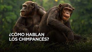 ¿Cómo hablar la lengua de los chimpancés?