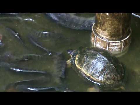 Mojarra roja tilapia videos videos relacionados con for Como hacer un criadero de mojarras