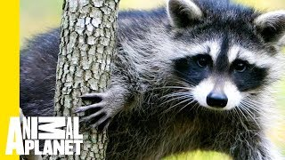 Animal Bites With Dave Salmoni | On the Rise: Raccoon Climbs Building in Daylight by Animal Planet