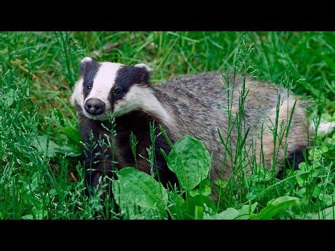 Барсуки играются в лесу (European badger)