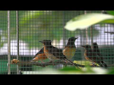 นกกางเขนดง -