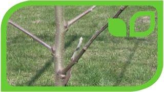 Der Easytree Apfelbaum