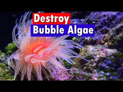 Bubble Algae Control and Removal in a Saltwater Reef Aquarium - Emerald Crabs and Vibrant Reef_Akvárium