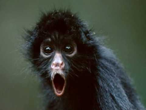 dramatic monkey