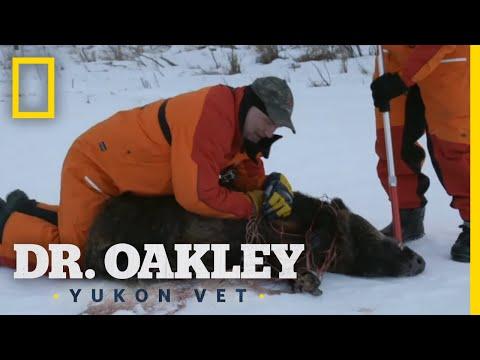 The Boar Ultimatum (Full Episode) | Dr. Oakley, Yukon Vet