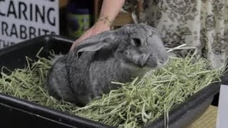 Giant Rabbit Care : Rabbit Care