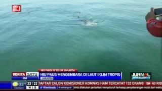 Download Video Hiu Paus Muncul di Teluk Jakarta MP3 3GP MP4