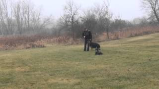 German Shepherd training with Australian Shepherd and Golden Retriever