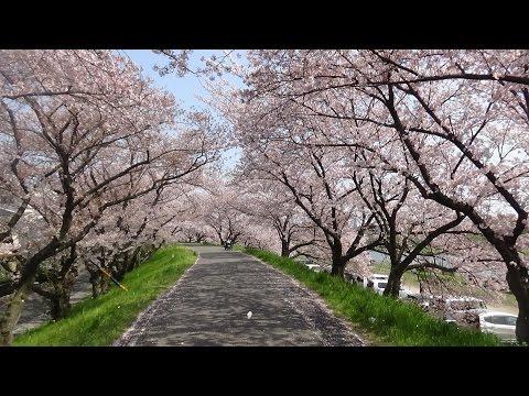 Sakura Yokkaichi I Japão a terra do sol nascente