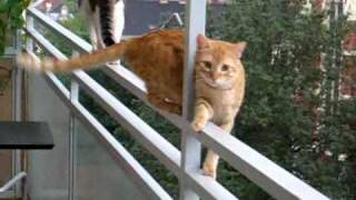 Fearless Cats Walking On Balcony