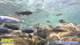 Snorkel en el Lago Malawi. Vídeo grabado por Petr Posel con GoPro HERO3 Black Edition. Edición y montaje por...