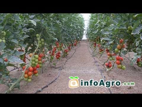Cultivo del tomate. 2ª parte