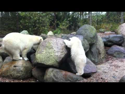 Zoo Denmark - The polar bears Augo and Malik, has been given a new yellow toy by some of their dutch fans. while they are having fun with playing hide and week, the other ...
