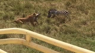 Zebra matka ratuje swoje dziecko przed atakiem Lwa