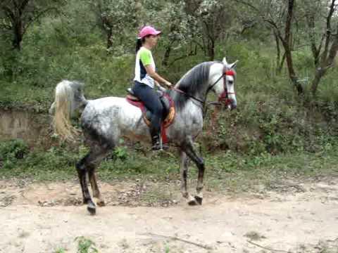 Cavalo Arabe Serial Killer muito bravo com as éguas  Arabian Horse