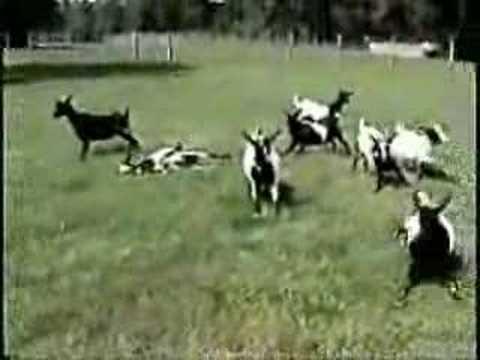 想知道羊被嚇的反應嗎!?難怪他們總是被狼吃…