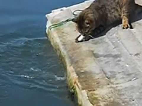 Kedi balık avlıyor