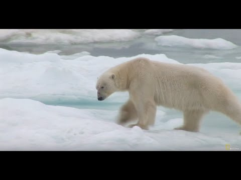 專家在北極拍攝時第一次拍到「北極熊捕殺吃掉同類」,背後原因揭開後所有人都慚愧地低下頭!