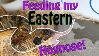 My Eastern Hognose Snake Eats a Mouse! by Snake Discovery