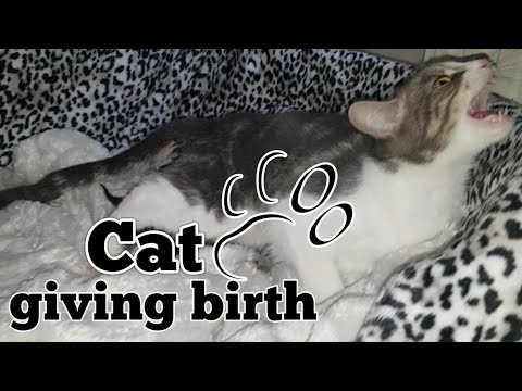 Download CAT GIVING BIRTH. THE 3 STAGES OF CAT BIRTH. ASMR STYLE.
