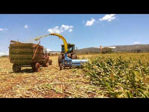 ensiladeira - O milho foi derrubado pelo vento em dezembro de 2013 e foi feito a silagem em janeiro de 2014, com a ensiladeira SILTOMAC, que conseguiu aproveitar uns 60% d...
