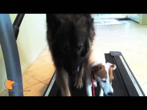 florida dog trainer - http://www.Fine-tunedCanines.com FB: http://www.facebook.com/FinetunedCanines Sallie, the Jack Russell Terrier female is enjoying treadmill exercise at FINE-...