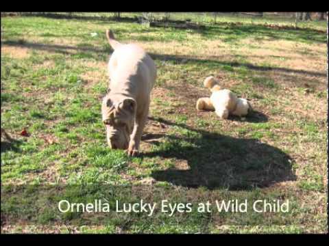 Neapolitan Mastiff at Wild Child kennels
