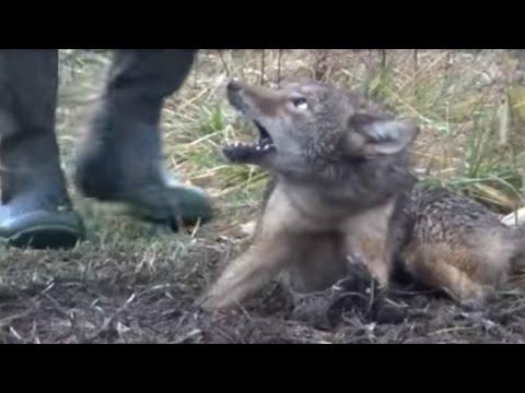 CAZAR CON TRAMPAS ES CRUEL (видео)
