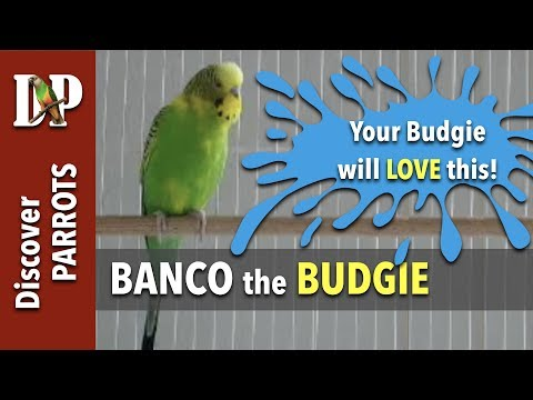 Banco the budgie calling, chirping, screaming