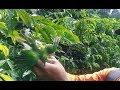 Download Lagu pikat burung Cucak ijocucak dauncucak hijau di dalam hutan Mp3 Free
