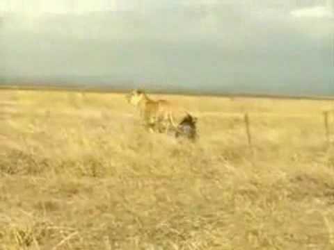 Video- Lợn rừng tấn công sư tử .flv
