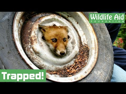 0 Fox Trapped In Wheel Rescued