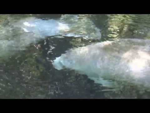 Manatees on the  Ichetucknee