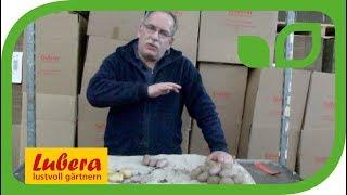 Geschichte der Krautfäule und resistente Kartoffelsorten