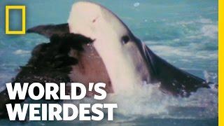 World's Weirdest - Albatross vs. Shark