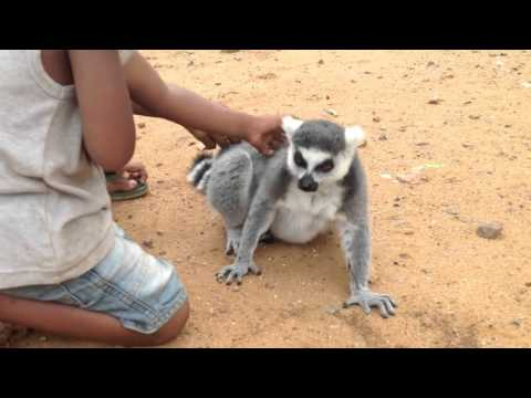 Kids Pet and Communicate with Lemur