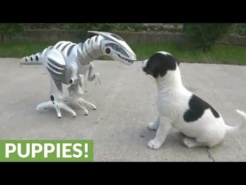 Koiranpennut leikkii robotin kanssa – Uteliaita veijareita