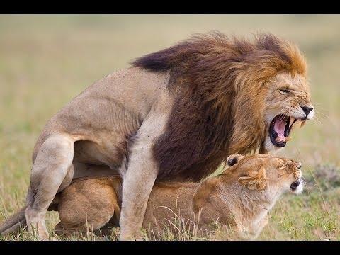 Африканские животные  - Лев Спаривание  Дикие животные