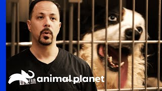 Australian Shepherd's Seizures Concern Dr. Lavigne | The Vet Life by Animal Planet
