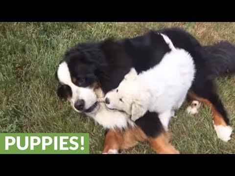 il-bernese-ed-il-cucciolo