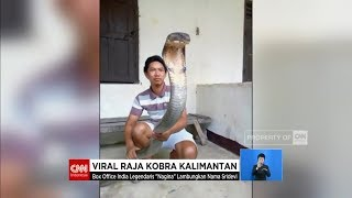 Video Viral! Raja Kobra Kalimantan Super Besar MP3, 3GP, MP4, WEBM, AVI, FLV Oktober 2018