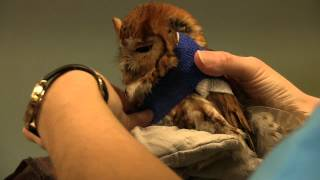 Screech Owl gets a sling - Exotic Pet vet