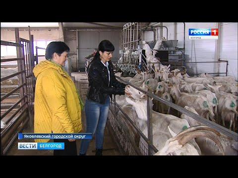 Фермеры Кривенковы снабжают козьим молоком московские сыродельни