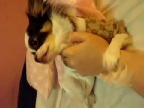 chihuahua hugging my hand :)
