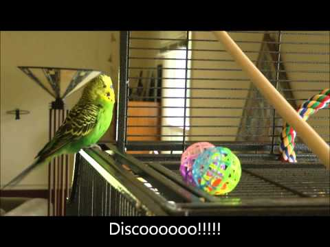 parakeet - Disco's on a roll with many of his (and possibly your) favorite phrases, including