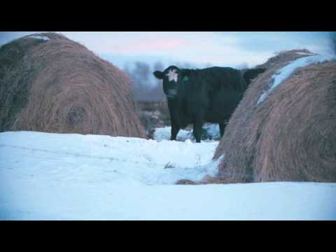 Winter grazing systems: Feed allocations when bale grazing