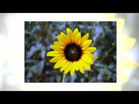 Как правильно выращивать подсолнечник